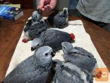 Prijazen moški in ženski Kongo afriške sive papige