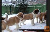 Bernardinac i bernski planinski pas stenci na prodaju