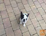 Boston terrier beli mladički 600-800€