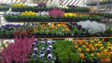 Prodajalka okrasnih rastlin na tržnici