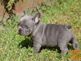 Veseli Francozi  Bulldog psički