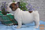 Drobni francoski buldog  psička