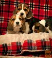 Charming Beagle bitches
